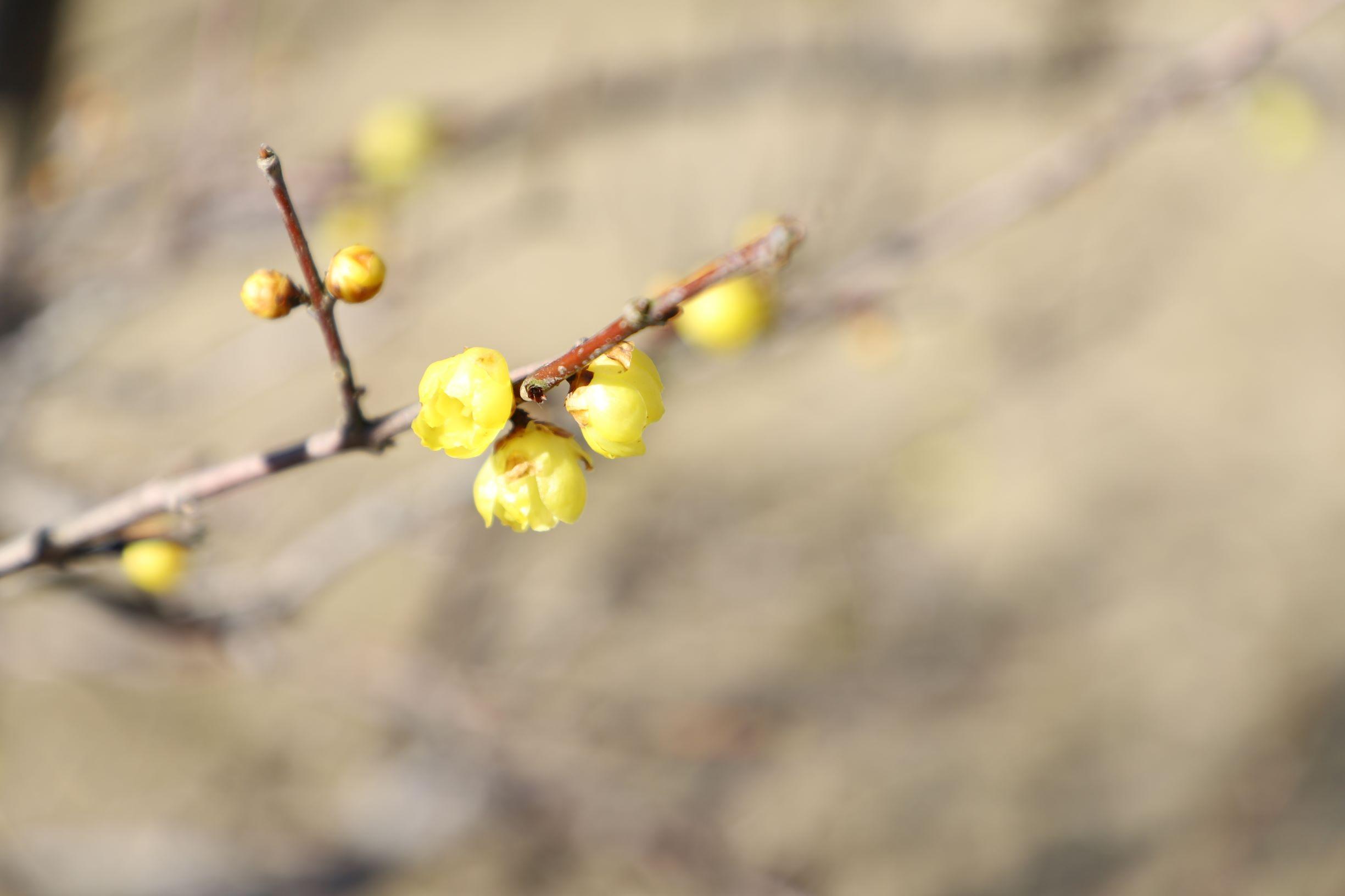 蠟梅が咲き始めました🌼イメージ