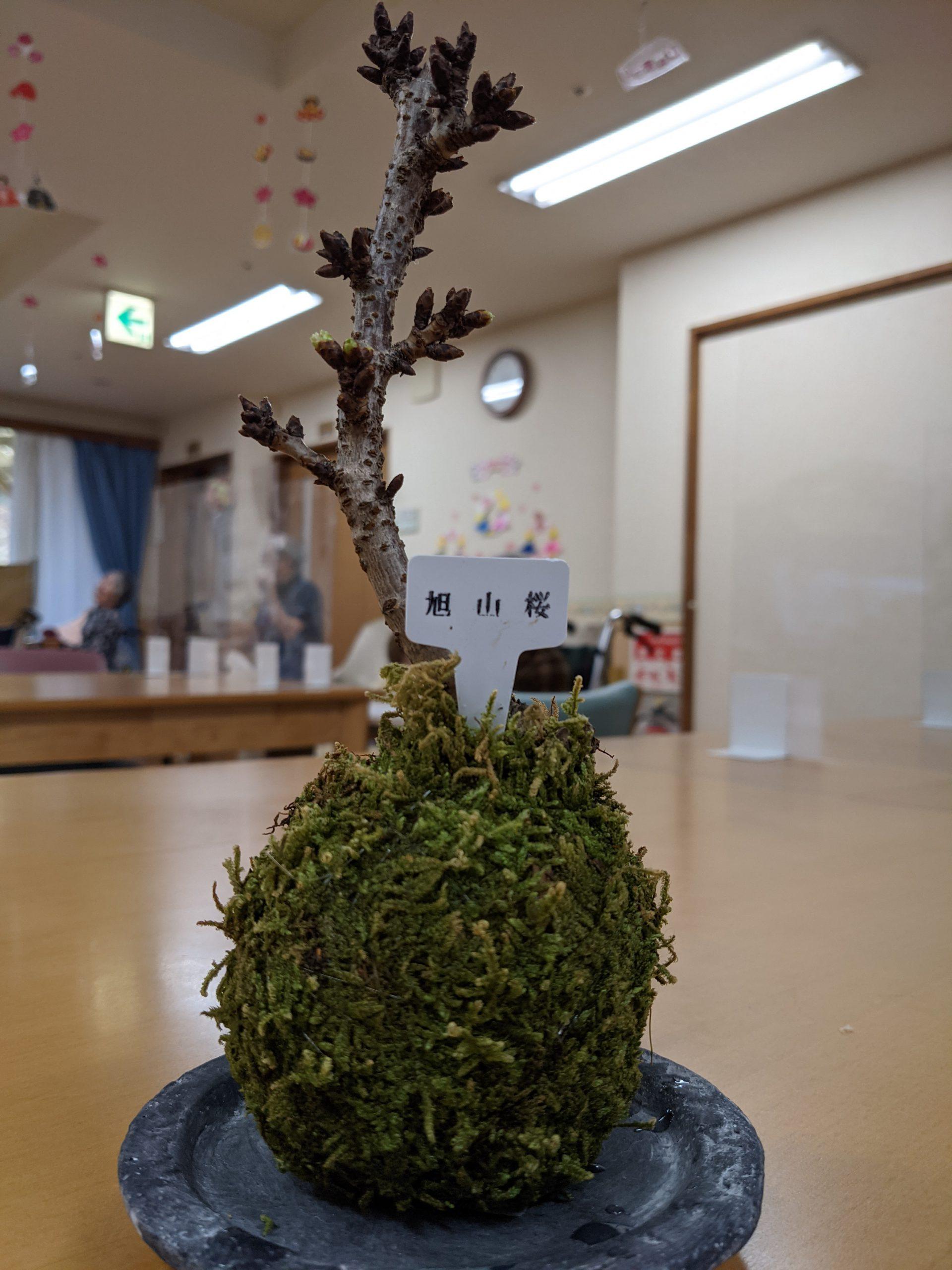 旭山桜🌸パートワンイメージ