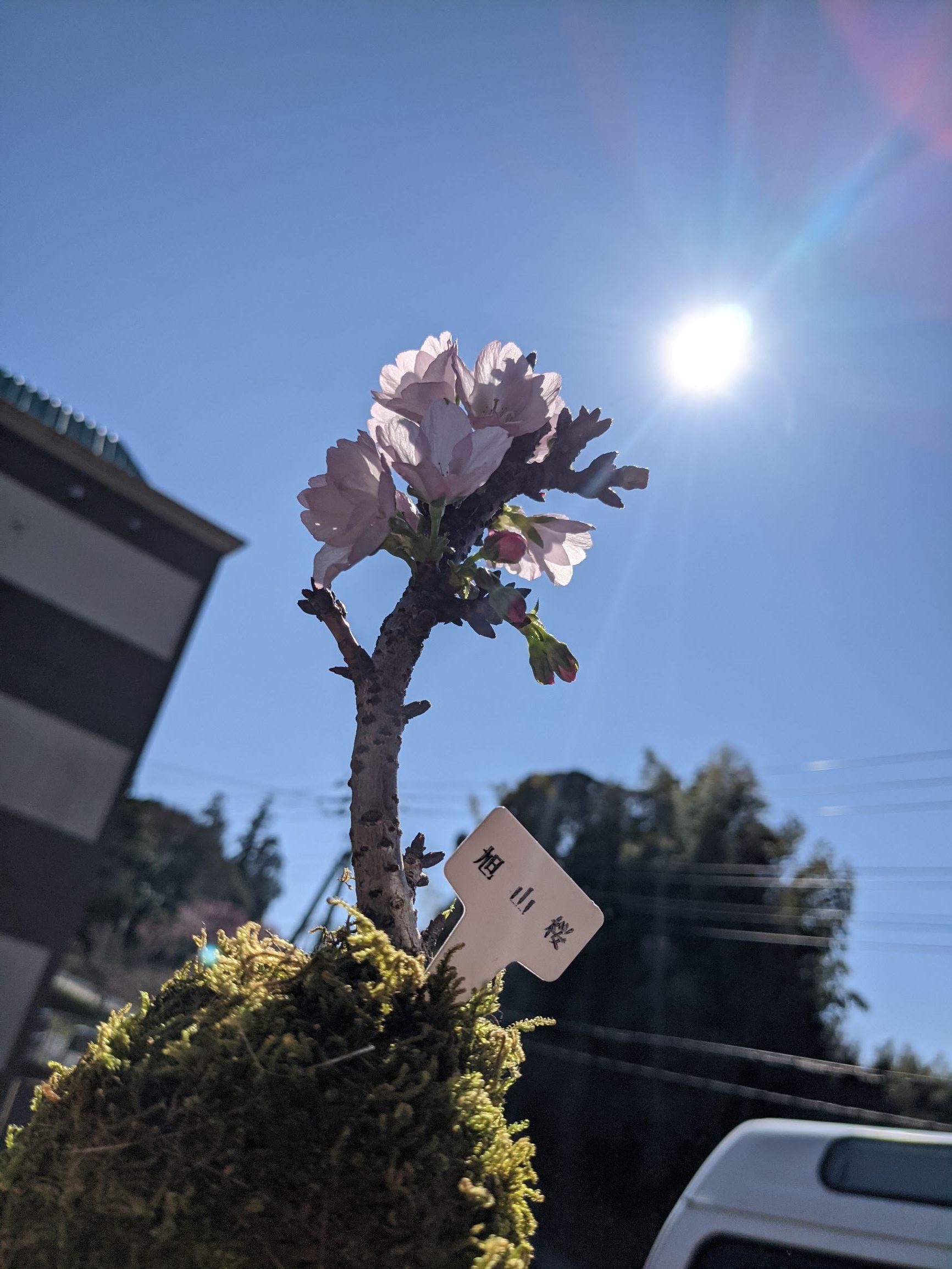 旭山桜パートスリーイメージ